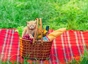 Little kitten on picnic basket with fruits on the blanket