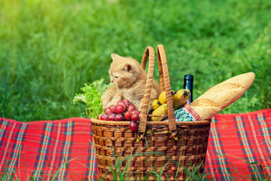 Little kitten sniffing the picnic basket outdoors