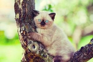 Siamese kitten sitting on a tree