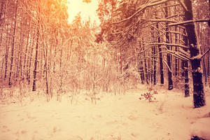 Pink dawn in the winter forest