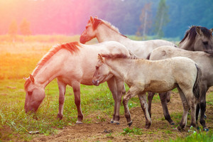 Herd of wild horses on the meadow at sunset