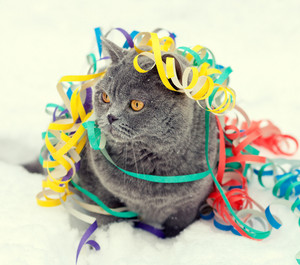 Blue british shorthair cat entangled in colorful streamer on the snow