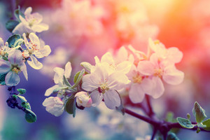 Vintage blossom apple tree at sunrise. Spring natural background
