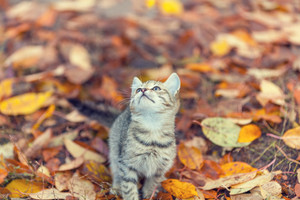 Portrait of little kitten on the grass with fallen leaves in autumn