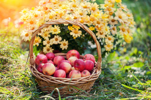 Basket with red apples on the grass