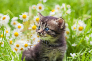 Little kitten in the camomile flowers