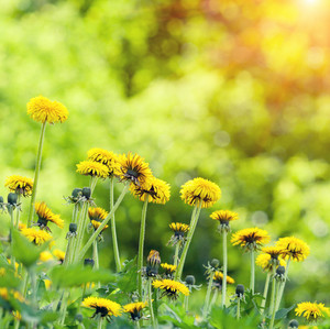 Dandelions lawn background