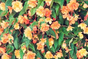 Vintage begonia flower background