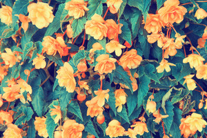 Vintage begonia flower background
