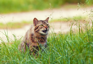 Siberian cat walking on the grass
