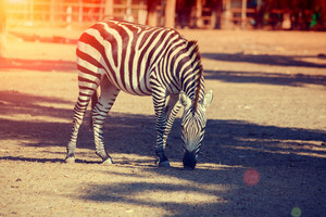 Walking zebras in the national park