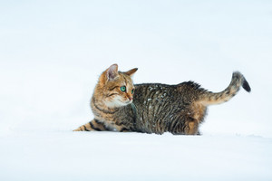 Cat walking in deep snow
