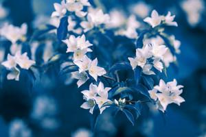 Vintage blossoming jasmine flowers