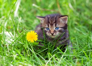 Little kitten on the grass near dandelion