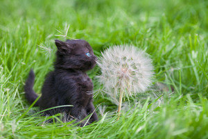 Little kitten with big dandelion with seeds