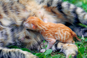 Newborn kitten lying with his mother cat
