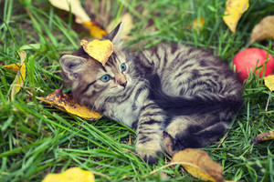 Little kitten with fallen leaf on the head lying on the grass