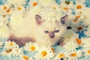 Cute siamese kitten relaxing on the flowers