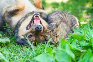 Cat and dog playing on the grass