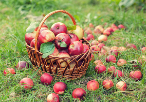 Basket with organic apples on the grass in the autumn orchard