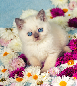Cute siamese little kitten in flowers