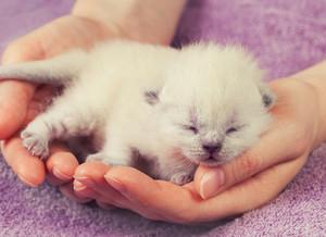 White newborn kittens in female hands