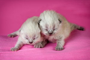 Adorable newborn blinding kittens on pink blanket