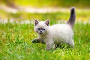 Cute little siamese kitten walking on the grass