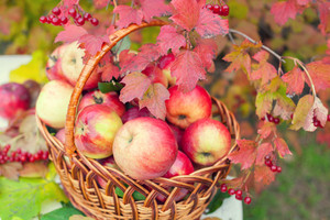 Basket with apples on the grass in the autumn orchard
