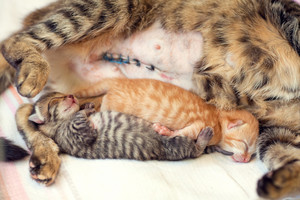 Cat after cesarean section lies with a two newborn kittens