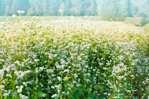 Blossoming buckwheat field in summer