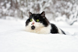 Black and white cat walking in deep snow