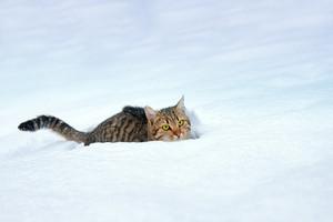 Cat walking in deep snow