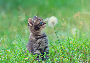 Little kitten rubbing against dandelion