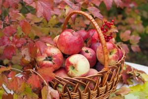 Basket with apples in the autumn orchard