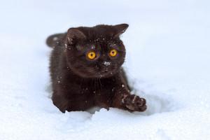 Portrait of brown british shorthair kitten walking in snow