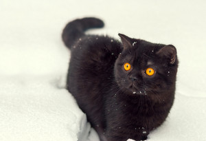 Portrait of brown british shorthair kitten walking in snow