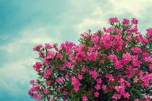 Blossoming pink rhododendron bush against blue sky with clouds
