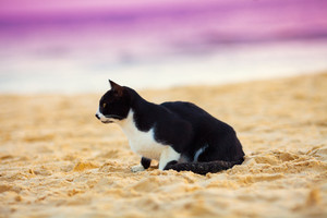 Cat sitting on the beach at sunset