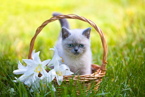 Cute little kitten sitting in a basket with lily flowers on the grass