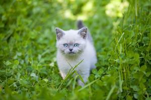 Little kitten walking in clover