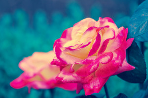Vintage colorful rose at sunrise