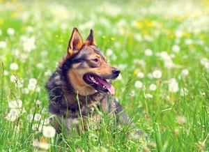 Portrait of the dog sitting in a dandelion meadow