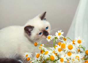 Siamese kitten sits next to a bouquet of daisies
