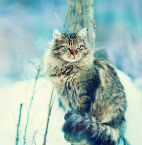 Siberian cat siting outdoors in snowy winter