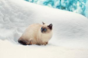 Siamese cat walking in deep snow