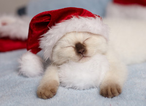Little kitten wearing a santa hat sleeping on a white pom-poms