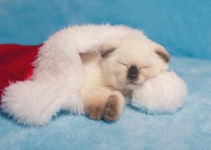 Kitten sleeping in Santa hats