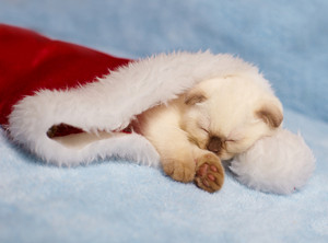 Kitten sleeping in Santa hats