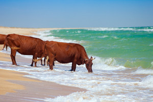 Cows drinking water from sea